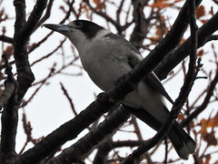 butcherbird in my oak (jeaniephelan) Tags: bird butcherbird australianbird tasmanianbird