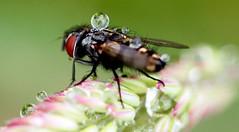 The Fly (basil1926) Tags: flyraindrops nature macro closeup waterwildlife fly raindrops