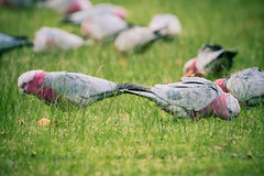 Hanging out (bektravels) Tags: pink nature grass birds animals grey outdoor wildlife flock birding australian feathers australia galah rosebreastedcockatoo canon70d ef70300mmf456l