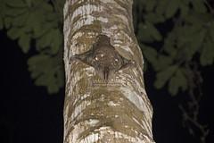IMG_5849-0(W) Sunda flying lemur (Galeopterus variegatus) (Vince_Adam Photography) Tags: animals fauna flying wildlife malaysia gliding mammals treehugging binatang mamalia malayancolugo malayanflyinglemur galeopterusvariegatus sundaflyinglemur sundacolugo wildlifeofmalaysia