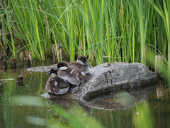 (Rompsukka) Tags: nature birds wildlife goldeneye
