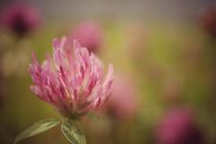 Klee (phozuppel) Tags: pink bokeh sony pflanze wiese rosa makro klee alpha6000
