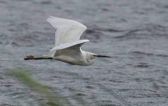 DSC_1399 Egret (Rattyman76) Tags: egret birdinflight rspb leightonmoss