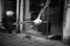 on my wavelength ...  I see your eyes (alessandrafinocchiaro67) Tags: venice white black nature monochrome fly seagull fx nikond750
