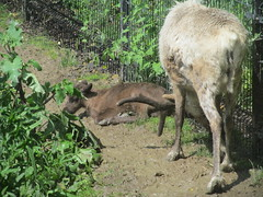 Woodland caribou fawn (Quevillon) Tags: canada reindeer mammal zoo montral fawn qubec caribou woodlandcaribou sainteannedebellevue ecomuseumzoo