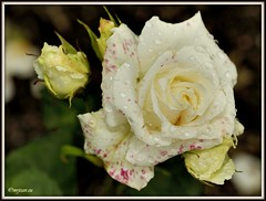 _JVA6900 (mrjean.eu) Tags: park pink flowers blue roses white france flower macro fleur rose yellow fleurs garden nikon jardin botanic lorraine botanique parc metz 105mmf28