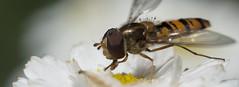 it's hot babe  the sweat is on my back (gelein.zaamslag) Tags: holland macro nature netherlands nederland natuur insects zeeland bloemen insecten bloem bloei zeeuwsvlaanderen zweefvlieg stuifmeel zaamslag hotonmyback