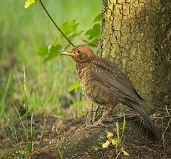 Juvenile blackbird (hedera.baltica) Tags: kos turdusmerula blackbird eurasianblackbird commonblackbird koszwyczajny