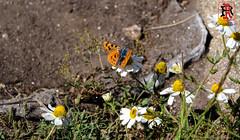 01869 (Tres-R) Tags: espaa animals butterfly spain galicia animales mariposa pontevedra riasbaixas airelibre cangas morrazo tresr sonyrx10 rodolforamallo