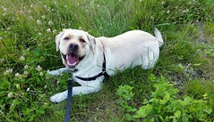Gracie with a big smile (walneylad) Tags: summer dog pet cute june puppy gracie lab labrador canine labradorretriever
