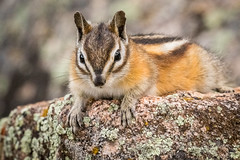 Did you really say get up, its Monday? (cbjphoto) Tags: park mountain photography wildlife rocky chipmunk national least carljackson