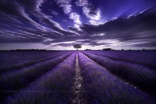 Lavender Field Valensole Provence France