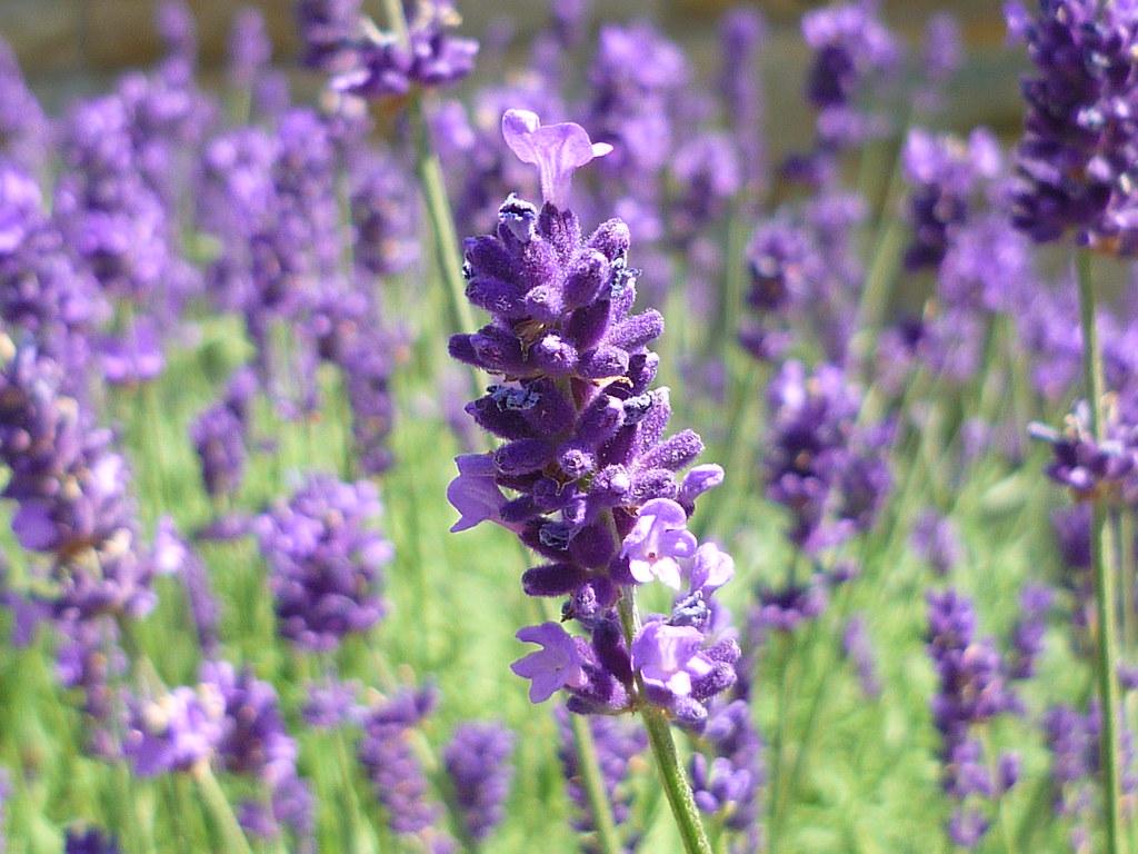 Lavendelblau (Jörg Paul Kaspari) Tags: Flowers Flower Garden Blumen Lila  Blau Fiori Garten