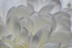 White on white chrysanthemum (Steve - Squadron Commander Lord Flashheart) Tags: nikon chrysanthemum manualfocus f25 d800 105mm extensiontubes 1295mm