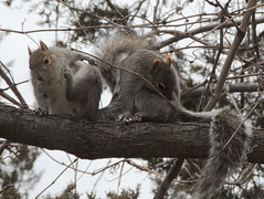 Squirrel love (Anita363) Tags: male fauna female yard mammal march rodent newjersey squirrel pair preening nj grooming highlandpark behavior graysquirrel courtship sciuridae sciuruscarolinensis easterngraysquirrel sciurus