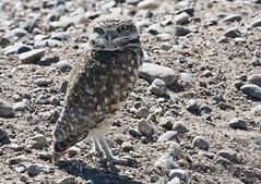 Burrowing Owl (Athene cunicularia); Belen Wetlands, NM [Lou Feltz] (deserttoad) Tags: newmexico bird nature desert raptor owl migration behavior wildbird