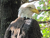 Bald Eagle (bookworm1225) Tags: zoo october minnesotazoo 2013 tropicstrail minnesotatrail