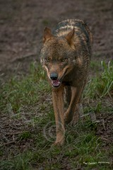 Red Wolf (Paul Chambers Photography) Tags: wolf devon wildanimal predator captivity carnivore redwolf endangeredspecies dartmoorzoo