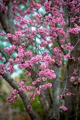 plum tree (Sam Scholes) Tags: pink flowers flower nature garden utah spring unitedstates blossoms saltlakecity springflowers floweringplum redbuttegarden rosefamily blireanaplum prenusxblireana