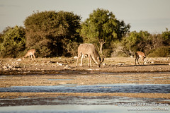 Kudu & Impala At The Watering Hole In Etosha National Park, Namibia