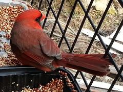 Cardinal (ShutterSparks) Tags: bird birds cardinal wv westvirginia birdwatching cardinals