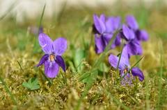 Timide violette (Annelise LE BIAN) Tags: france sunshine closeup fleurs violet mauve violette champagneardenne coth supershot fleursmauves alittlebeauty fantasticnaturegroup sunrays5