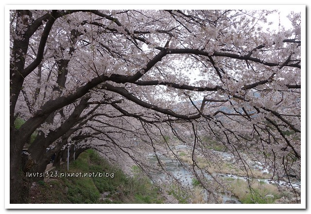 화개십리벚꽃길22