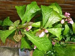 Dalechampia spathulata 4 (heinvanwinkel) Tags: leiden nederland hortus botanicus apr euphorbiaceae 2015 magnoliidae euphorbiales spathulata spermatophyta acalyphoideae dalechampia euphyllophyta rosanae bloemvandedag plukenetiinae dalechampieae