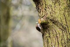 Treecreeper (sunsetbeach) Tags: bird bark nibbler treecreeper treemouse scurryingthing