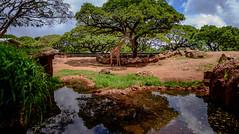 MY RAFF (Traylor Photography) Tags: vacation animal day pacific waikiki oahu solo giraffe banyan honoluluzoo