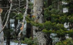 Sharpie (StarRider1300) Tags: trees red bird fauna spring eyes hawk raptor stare perched sharpie birdofprey sharpshinnedhawk feathered