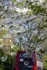 Chiswick Blossom 2015c