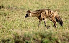 Elusive aardwolf! (Jambo53 (catching up)) Tags: nature kenya wildlife natuur safari savannah elusive rare eastafrica sigma50500 zeldzaam noctural aardwolf robertkok jambo53 maanhaar oostafrika protelescristata earthwolf nikod800 manejackal