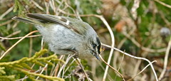 Golden-Crowned Kinglet, male (Photographer #16) Tags: