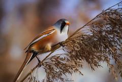 Male Bearded tit,,.... (Mandyjj543) Tags: wild male bird reed nature water birds reeds wings woods tit tits wildlife wilderness bearded beardedtit reedling reedlings