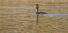 Fishing duties (jump for joy2010) Tags: uk england nature birds wildlife somerset april highbridge greatcrestedgrebe behaviour 2015 podicepscristatus breedingseason catchingfish permitonly walrowfishingponds