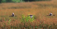 Australian Grebe Flight (setyabudigoenharto) Tags: birding australian mangrove grebe 400mm canon7d wonorejo