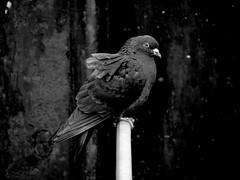 kiel_taube0430b_bw (ghoermann) Tags: bird geotagged deutschland pigeon deu kiel schleswigholstein düsternbrook blücherbrücke geo:lat=5433634133 geo:lon=1015754163