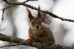 Furry little friend (Nyman Juha) Tags: tree nature forest canon suomi finland fur spring branch sitting contemporary wildlife c sigma full 150 600 frame squirel 6d mntsl uusimaa
