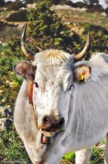 Cowgirl (inchiostratore05) Tags: wild animal cow eyes lawn horns natura occhi horn mucca prato animali cowbell corna selvaggio campanaccio inchiostratore nikond5100 linchiostratore robertogiusto