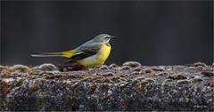 Grote Gele Kwikstaart 030516(13) (Gertj123) Tags: bird nature netherlands birds yellow river bokeh hellendoorn regge greywagtail