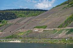 Vines on a steep hillside - Boppard (S Walker) Tags: vines scenery rhine steep boppard slopes viniculture
