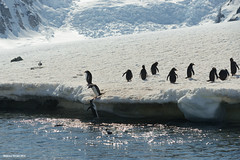 Poke! (naturalturn) Tags: cliff mountain snow mountains ice swim island penguin jump jumping gentoo antarctica glacier swimmer leap icicles leaping antarcticpeninsula errerachannel danco dancoisland image:rating=5 image:id=191889
