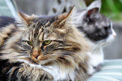 Man muss sein Glck teilen,... (SpitMcGee) Tags: pet cat couple leo paar explore katze kater lizzi gardenchair gartenstuhl marievonebnereschenbach zuckerschnecke spitmcgee