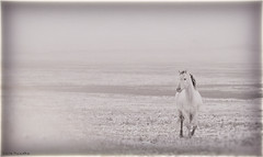Horses in Fog (Sierragoddess) Tags: horses horse usa white snow west fog vintage nose spring ears filter northdakota western prairie mane darlahueske