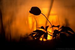 Golden sunset (Wizmatt) Tags: wood sunset orange sun abstract flower macro nature silhouette yellow closeup sunrise woodland photography spring warm bokeh wildlife anemone ladys outline ranunculaceae nightcap nemorosa sigma150mm canon70d matthewwisby