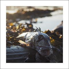 Beach life and death at low tide III (Christa (ch-cnb)) Tags: sea fish seaweed norway closeup square dead decay tire olympus norwegian pro cod trondheim srtrndelag zuiko tyre omd trndelag ranheim em5 trondheimfjord microfourthirds em5mkii
