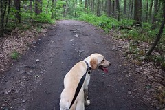 20160604144641_IMG_1295 (arielandrew) Tags: dog labrador walk woods glenlyon nature pennsylvania canon eos 750d rebel t6i