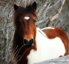 12 February 2016: Close-up (RobinMSP) Tags: winter horses nature maryland easternshore ponies marsh assateagueisland wildhorses dailywalk maidinsunphotography february2016c