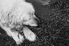 Bennu (Sareni) Tags: blackandwhite bw dog grass animal serbia may sm pas ker vojvodina twop srbija poza banat 2016 sprong trava prolece bennu alibunar crnobela juznibanat sareni savemuncana